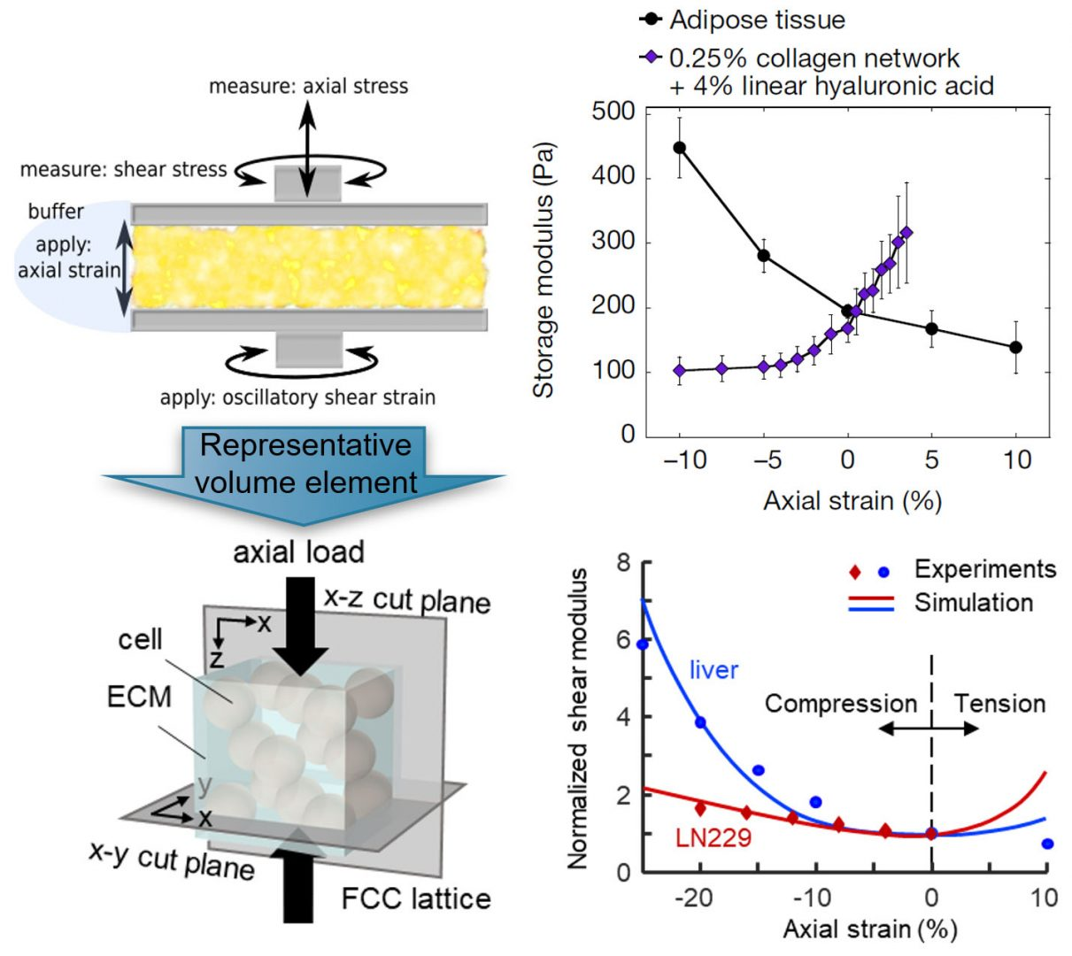 Figure: multiaxial response of soft tissues to predicted response of the network model from the Shenoy group, and Polymer networks that soften in compression but stiffen in extension can be converted to materials that stiffen in compression but not in extension by including within the network either cells or inert particles to restrict the relaxation modes of the fibrous networks that surround them with predicted response of the network model from the Shenoy group